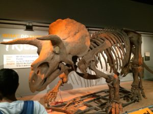 Triceratops. National Museum of American History, Washington, D.C.